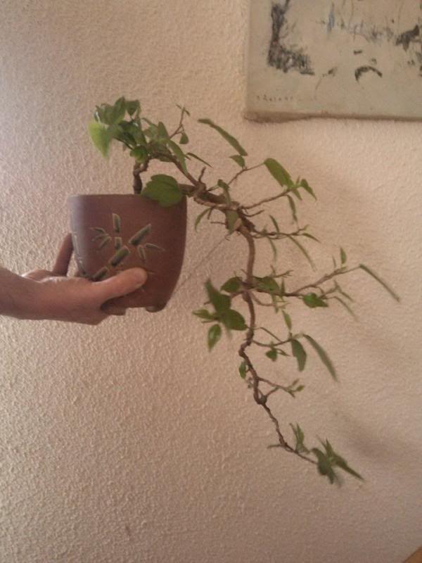 Galeria plantelor mele... 961319_681493715251590_872821150_n