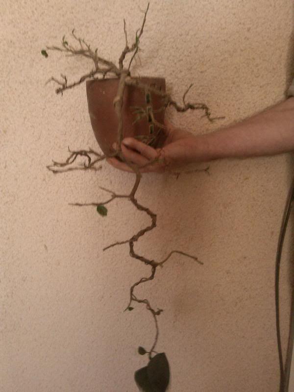 Galeria plantelor mele... IMG_20140329_152616