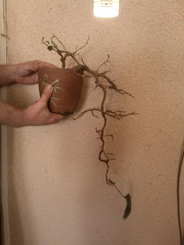 Galeria plantelor mele... IMG_20140329_152656