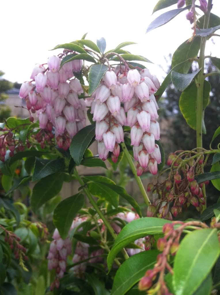 Is anyone growing Pieris Japonica? Photo-2170