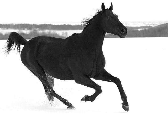 Lexi's Bios (FerretFanatic) Black_horse_in_white_snow