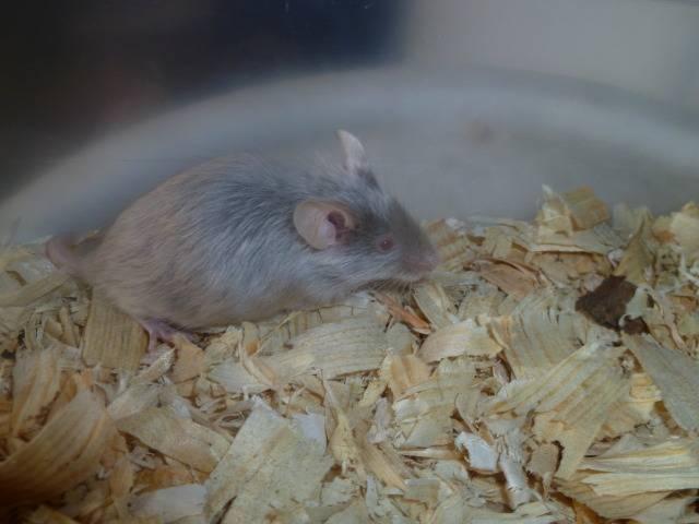 New Mice Pics  Picture011