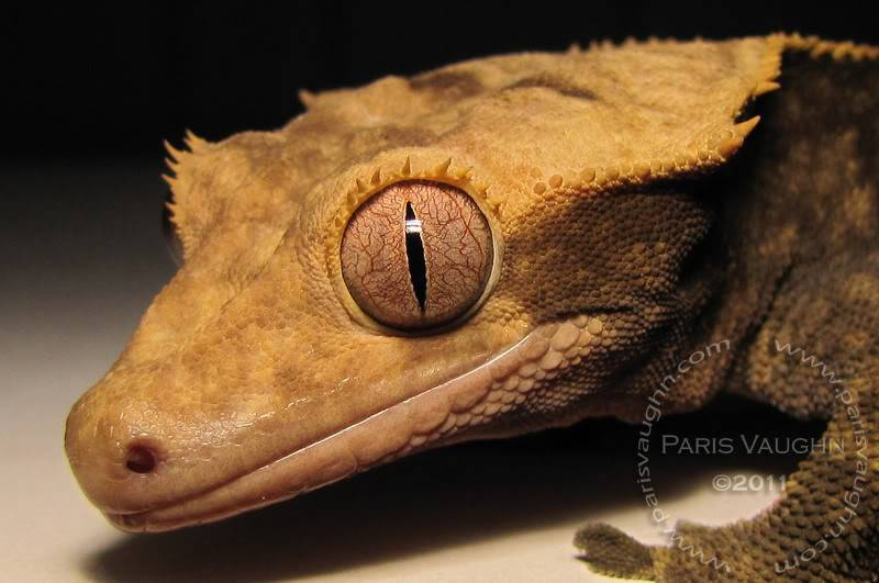 Rodney the Crested Gecko Zz-3