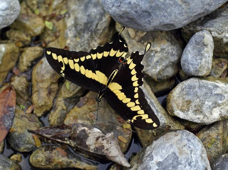 Une autre espèce se dirige vers l'extinction Mariposa