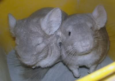 Chinchillas 22b3cd7c