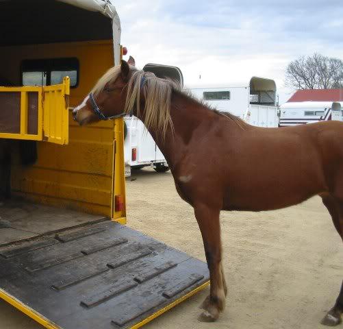 Silver Australian Stock horses 55ca2f1b
