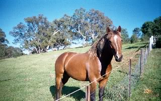 Silver Australian Stock horses 93691952