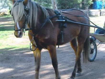 Silver Australian Stock horses 99dbce2e