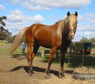 Silver Australian Stock horses Barbie204_8_06