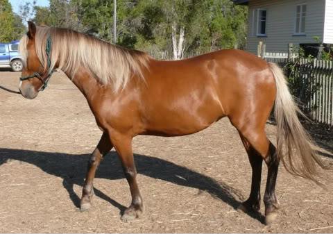 Silver Australian Stock horses Ce3a59ff