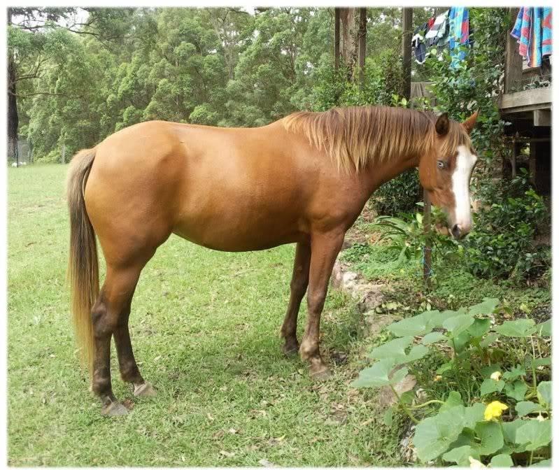 Silver Australian Stock horses 44ef81ed