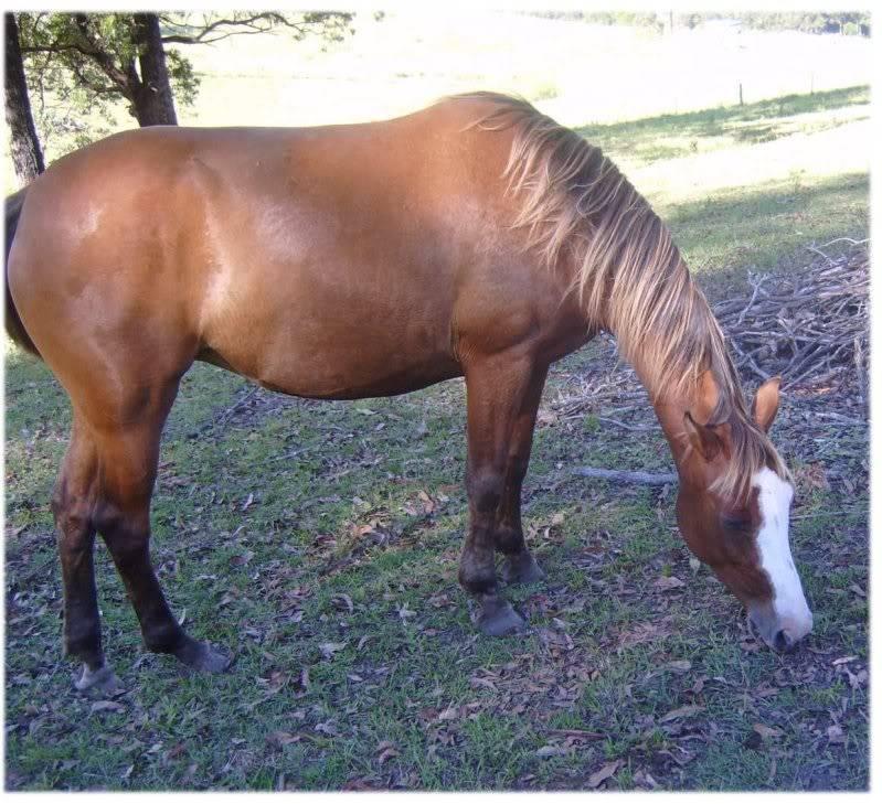 Silver Australian Stock horses 9fbab3cf