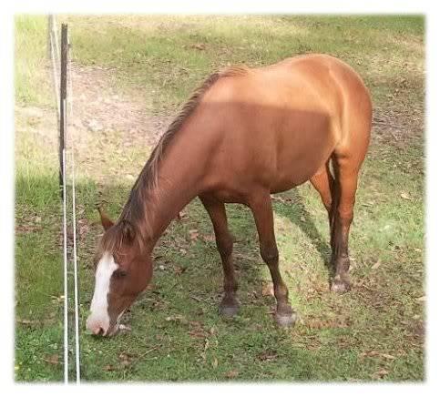 Silver Australian Stock horses E48247b5