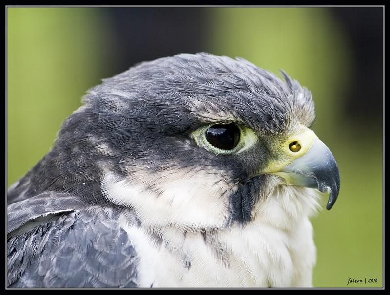 The Falcon Wars. (More than one player needed!) Peregrine_falcon