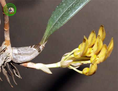 Hoa lan - Đẹp rất nhiều so với lan của Triết :D Bulbophyllumvietnamense