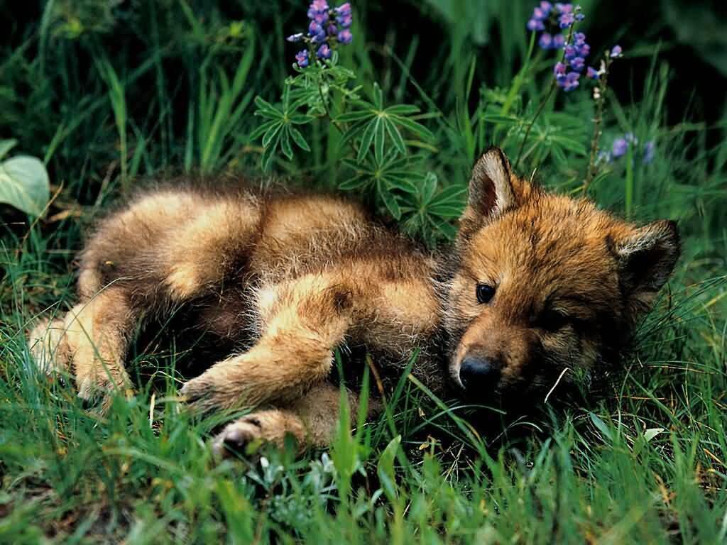 JLM-wolf_pup-1024x768bandwidth-thie.jpg Playful =D image by hawkstar777
