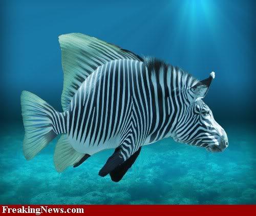If you were a fish...... Tropical-Zebra--36436