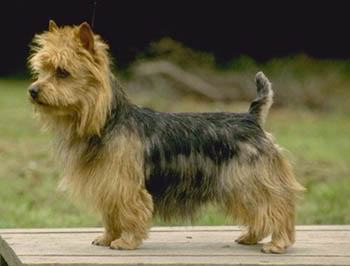 What Dog Breed Are You? Australian-Terrier-1