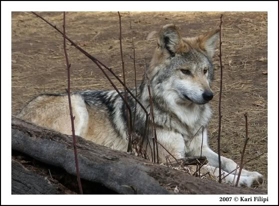 I'm Gonna Sing the Doom Song Now! Mexican_Wolf_Female_by_kafilipi-1