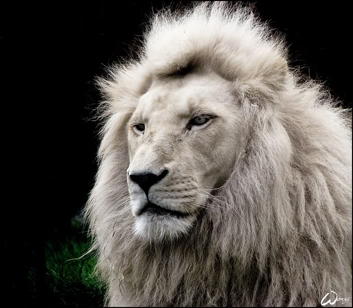 Land of the Beast White_lion_called_Haldir_by_woxys