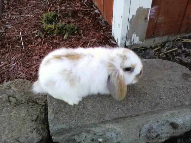 mâles lapins bélier hollandais à vendre 1004131651001