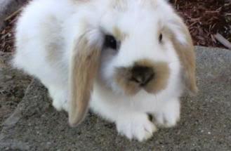 mâles lapins bélier hollandais à vendre 1004131651002