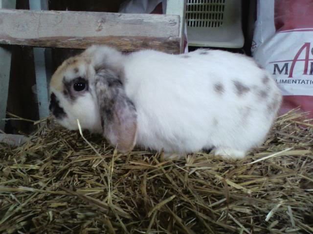 mâles lapins bélier hollandais à vendre Domino
