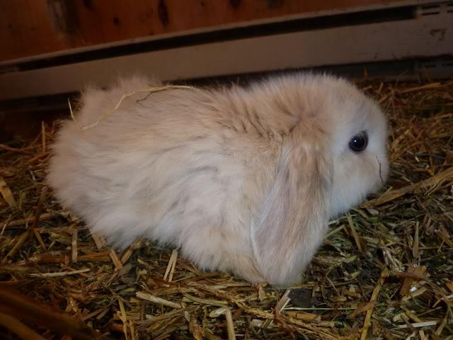 bébés lapins bélier hollandais à vendre Arlequin_1