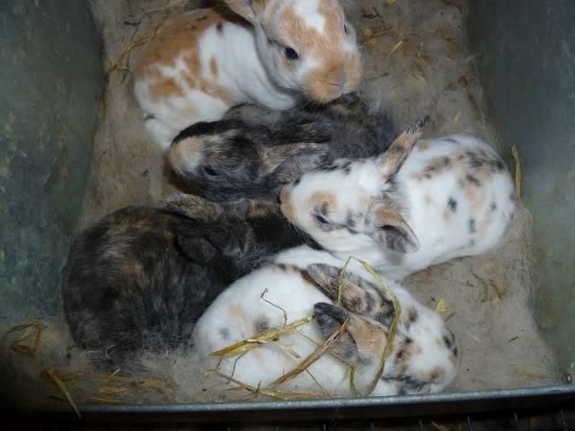 lapins mini-rex tricolores et arlequin à vendre BbMuscadens20avril640x480