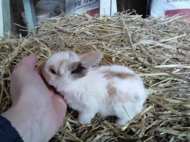 mâles lapins bélier hollandais à vendre Bb_3_tri