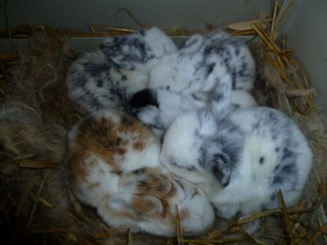 bébés lapins bélier hollandais à vendre PorteBambinsle9avril