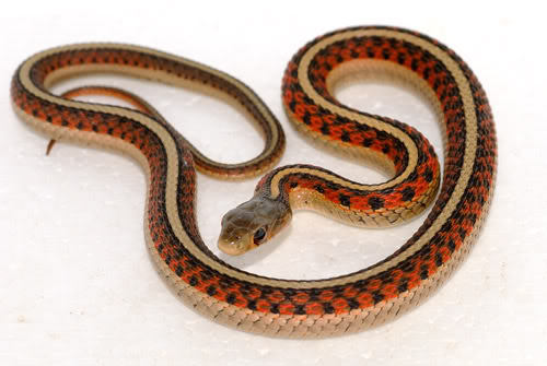 Thamnophis sirtalis High-red-young