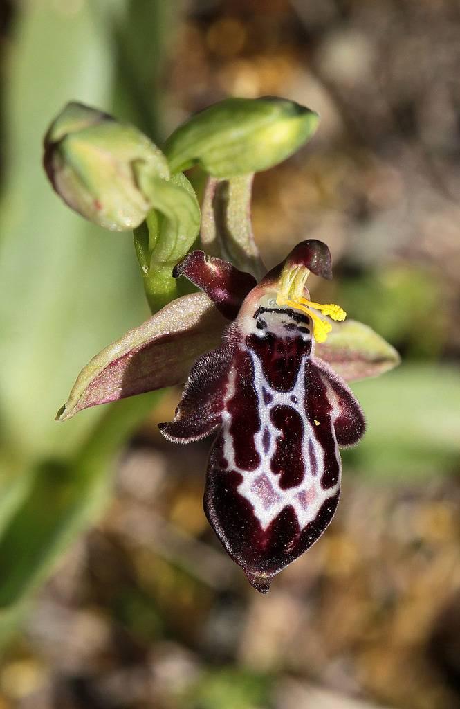 La Crète Ophrys%20ariadnae_zpsajkvfj3g