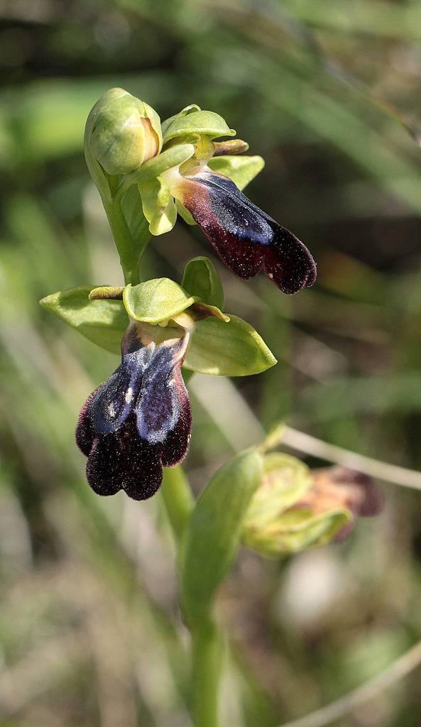 La Crète Ophrys%20iricolor_3_zpsmhgpf80z