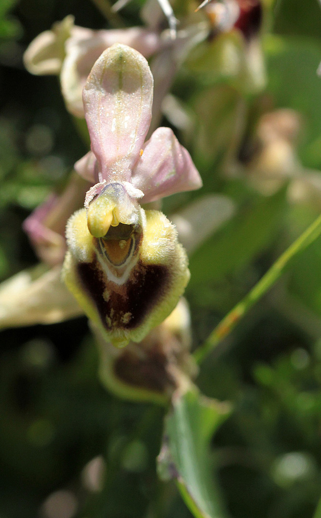 La Crète Ophrys_dictynna_zpsy3barfz4
