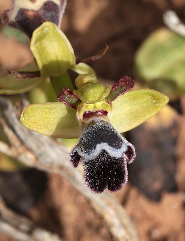La Crète Ophrys_fleischmanii_zpsbpjq4ejw