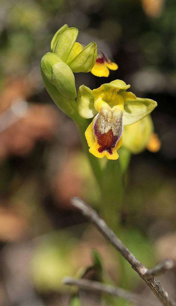 La Crète Ophrys_phryganae_zpsvkwnqt6k