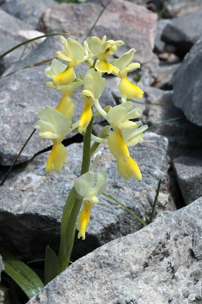 La Crète Orchis_pauciflora_1_zpstiw7mwew