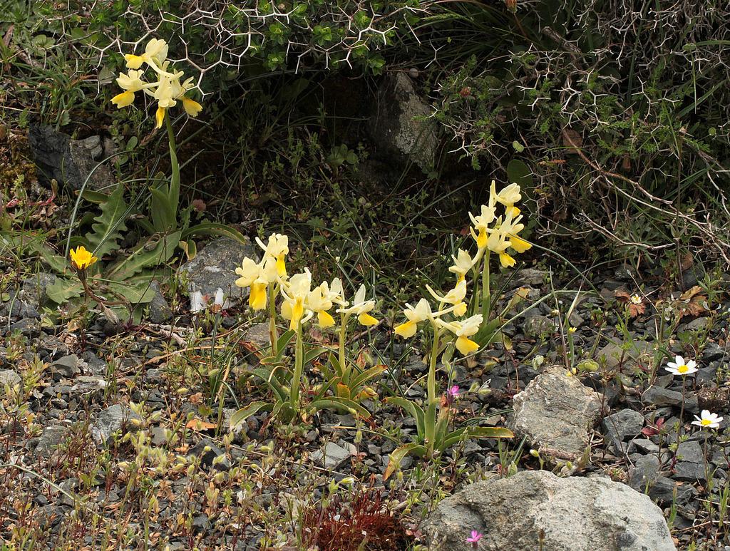 La Crète Orchis_pauciflora_2_zpsy5y83fr7