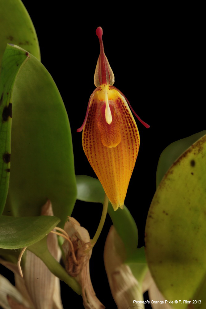 Restrepia Orange Pixie IMG_6956_zps4bb12177