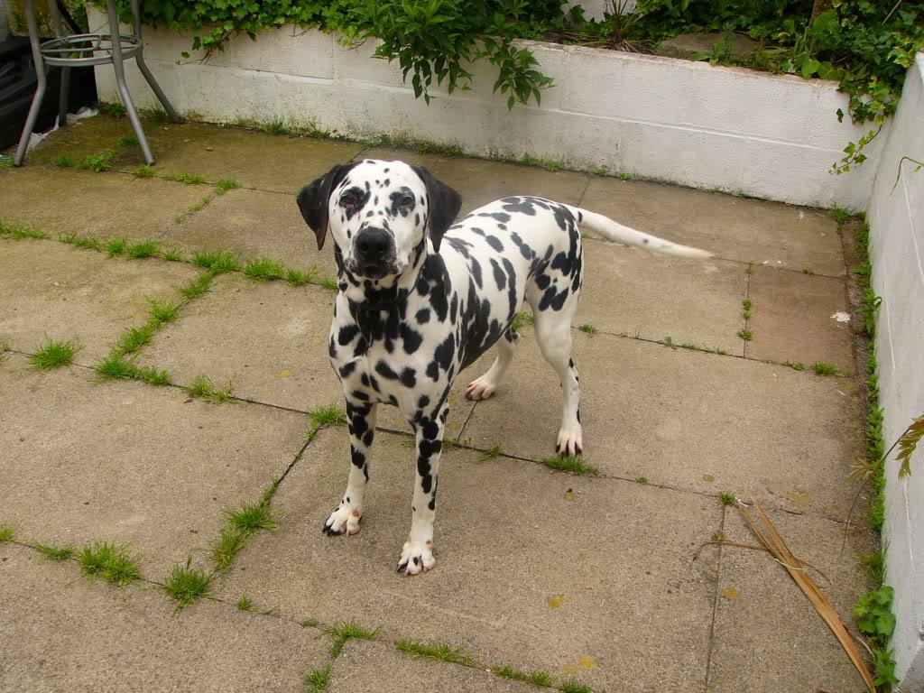 Dalmatian needs new home P1090812