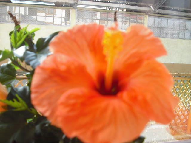 Japonezii mei forumul-florilor - Pagina 5 CIMG1811