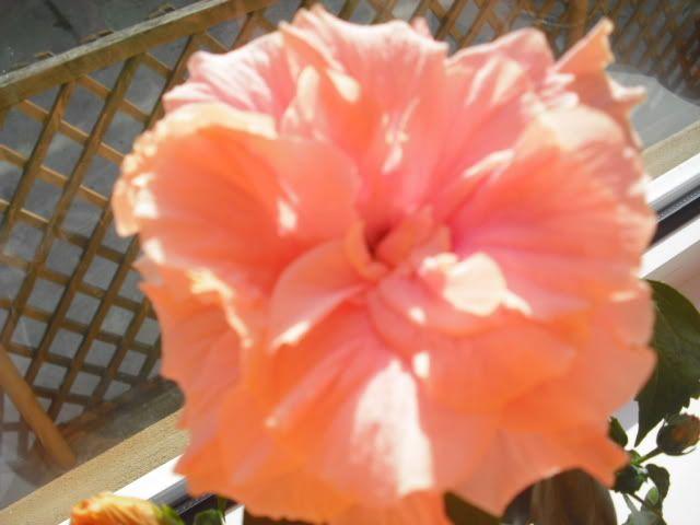 Japonezii mei forumul-florilor - Pagina 5 CIMG1817
