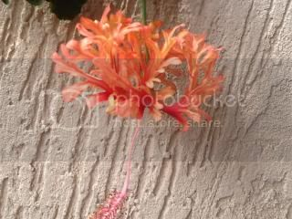 Hibiscus rosa sinensis - Pagina 9 Image_zpsa8146675