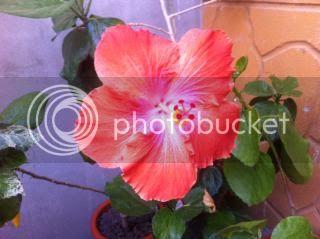 Hibiscus rosa sinensis - Pagina 9 Poza3_zps3237efba