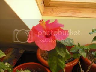 Hibiscus rosa sinensis - Pagina 3 CIMG2812