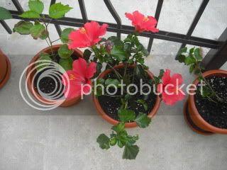 Hibiscus rosa sinensis - Pagina 7 CIMG3448
