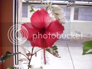 Japonezii mei forumul-florilor - Pagina 31 CIMG3627