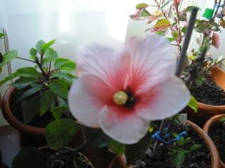 Japonezii mei forumul-florilor - Pagina 31 CIMG3632