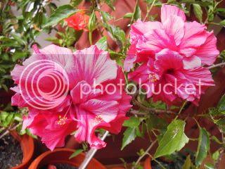 Japonezii mei forumul-florilor - Pagina 33 CIMG3651